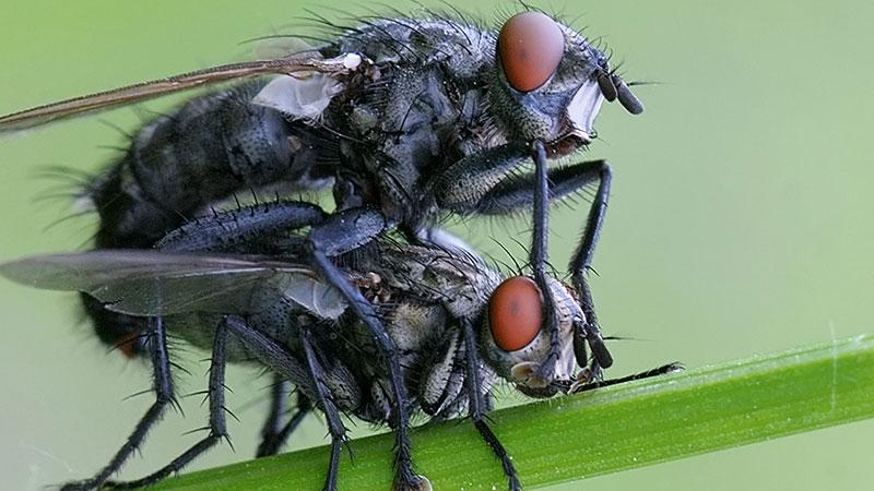 Accoppiamento tra mosche